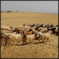 chèvres Nemrut Dag