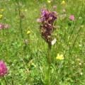 Orchidée (à déterminer)
