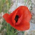 fleurs_de_phrygie_003
