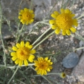 fleurs_de_phrygie_004