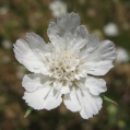 fleurs_de_phrygie_005