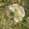 fleurs_de_phrygie_008