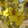 fleurs_de_phrygie_011