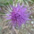 fleurs_de_phrygie_012