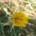 fleurs_de_phrygie_014
