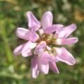 fleurs_de_phrygie_017