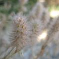 fleurs_de_phrygie_021