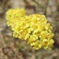 fleurs_de_phrygie_038